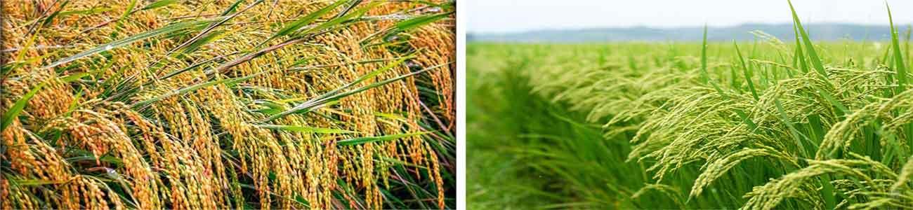 خرید برنج ایرانی برج چین اول(بهاره)-برنج چین دوم(پاییزه)